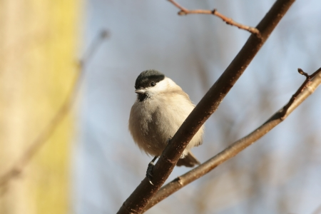 Marsh Tit - Parus palustris - on a twig at dawn photo