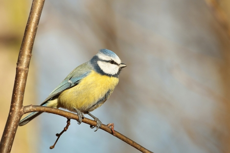 Blue tit - Parus caeruleus - in autumn morning photo