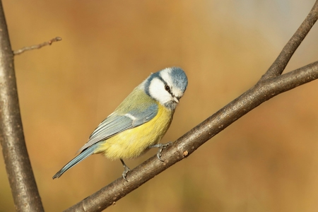 Blue tit in autumn morning photo