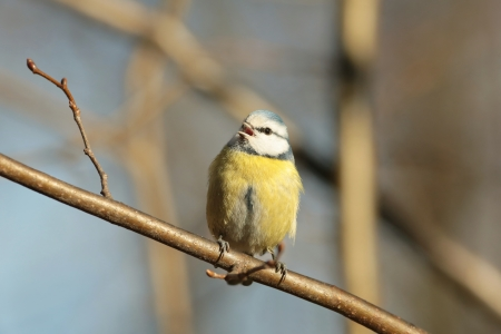 Blue tit sings in autumn morning photo