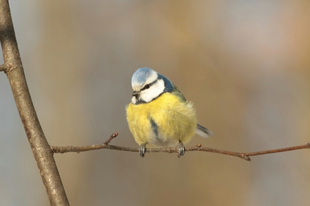 Blue tit on a twig in the forest photo