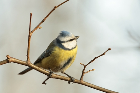 Blue tit looks up to other birds photo