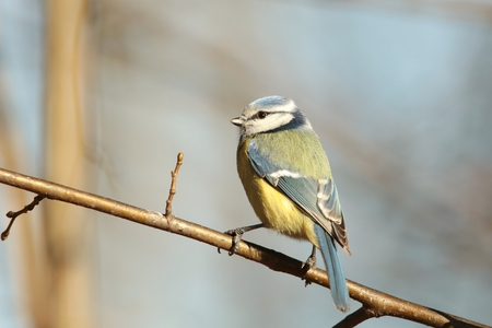 Blue tit on a twig in the sunshine photo