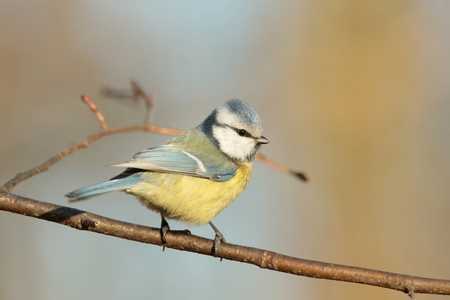 Blue tit on a twig at dawn photo