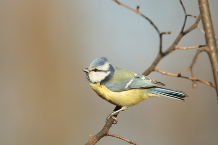 Blue tit staring at the other birds photo