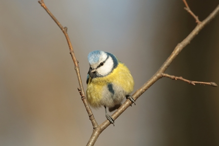 Blue tit looking at other birds photo