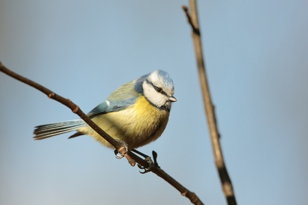 Blue tit against a blue sky photo