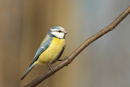Blue tit in autumn forest photo