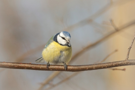 Blue tit on a twig in autumn morning photo
