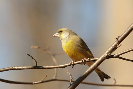 greenfinch: European Greenfinch on a twig