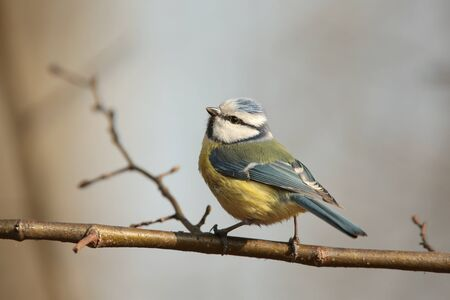Blue tit sings in the morning photo