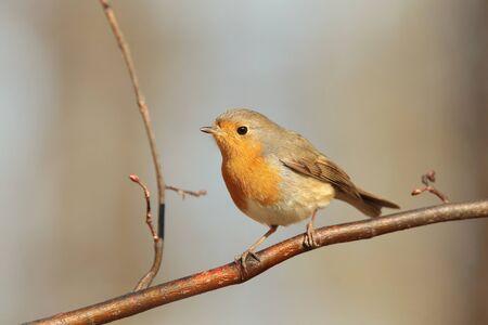 songbird: European Robin on a twig Stock Photo