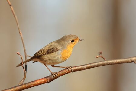European Robin on a twig photo