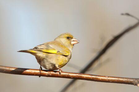 greenfinch: Female Greenfinch on a twig