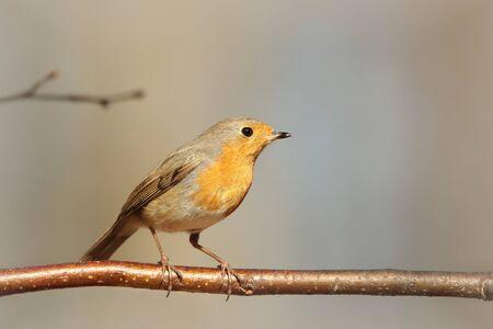 European Robin on a twig photo