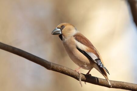 Male Hawfinch on a branch photo