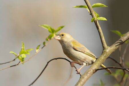 greenfinch: Female Greenfinch on a branch
