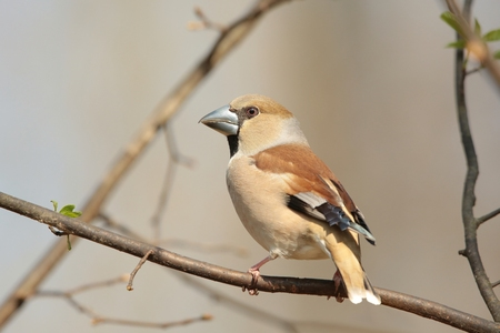 Female Hawfinch on a branch photo