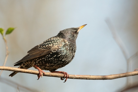 Common Starling on a branch photo