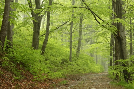 natural  moody: Trail through the foggy spring beech forest