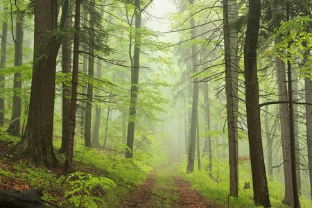 Trail through the foggy spring forest Stock Photo