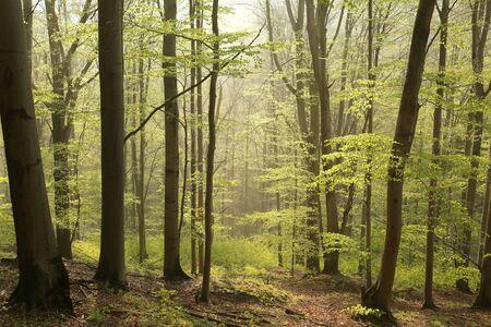 alder tree: Spring beech forest at dawn