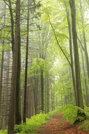deciduous woodland: The majestic spring forest surrounded by fog