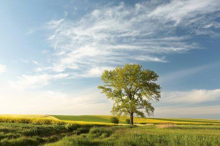 field maple: Spring landscape before dusk