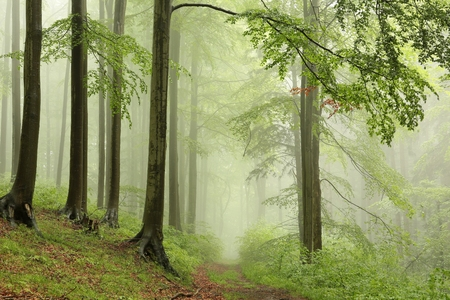 deciduous woodland: Spring deciduous forest with outgoing fog in the distance