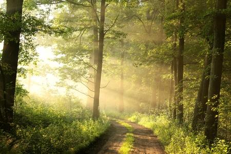霧の朝の春落葉林の未舗装の道路