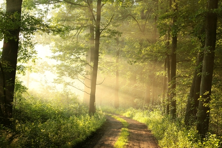 Dirt road through the spring deciduous forest on a foggy morning photo