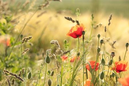 Poppy in the field in the morning