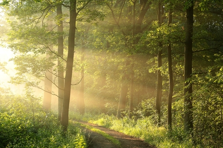 deciduous woodland: Spring deciduous forest on a foggy morning