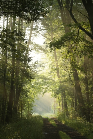 deciduous woodland: Dirt road through deciduous forest on a foggy morning