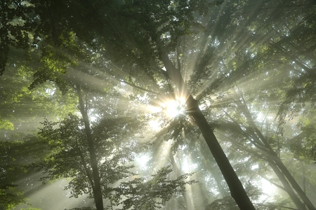 Sunbeams fall into the misty deciduous forest photo