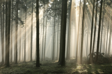 coniferous forest: Sunbeams enter the misty coniferous forest at dawn