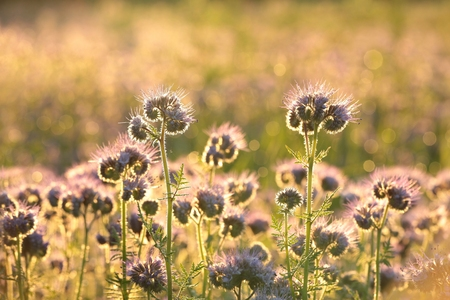healing plant: Flowering herbs in the field at dawn Stock Photo