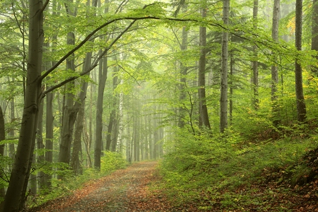 Path through misty autumn forest Standard-Bild