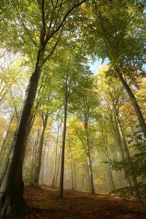 Misty autumn beech forest in the sunshine