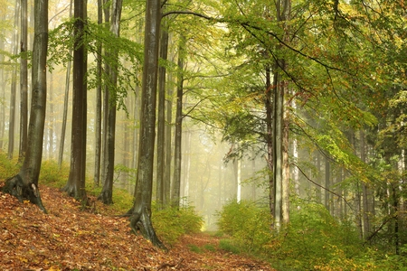 deciduous woodland: Trail through the misty autumn beech forest