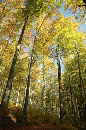 Autumn beech forest in the sunshine photo