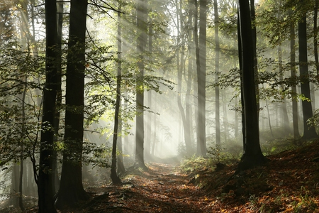 Forest path surrounded by fog in the sunshine