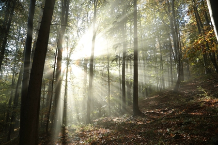 Sunbeams enter the misty autumn forest at dawn photo