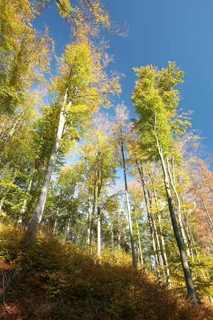 Autumn beech forest against the blue sky photo