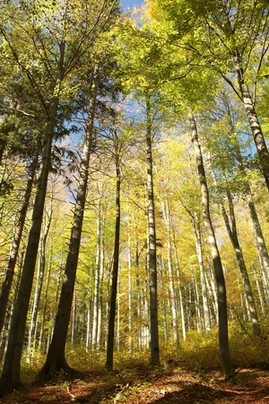 View of autumn beech forest photo