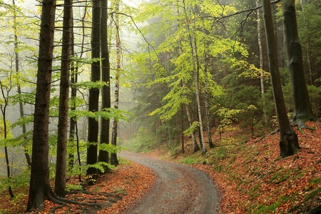 alder tree: Path through the autumnal forest on a foggy morning