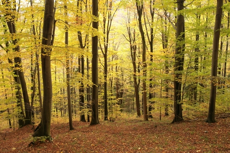 deciduous woodland: Autumnal beech forest at the beginning of November Stock Photo