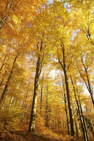 Majestic beech forest in late autumn colors photo