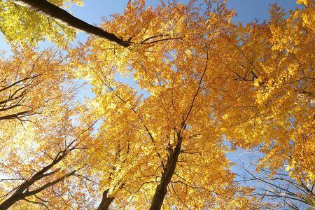 Autumn beech trees against the blue sky photo