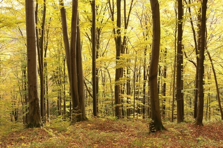 mystical forest: Autumnal beech forest at the beginning of November Stock Photo